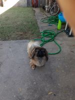 Pekingese Puppies for sale in Fort Smith, AR 72916, USA. price: NA