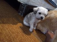 Pekingese Puppies for sale in Odem, TX 78370, USA. price: NA