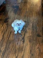 Pekingese Puppies for sale in Waxahachie, TX 75165, USA. price: NA