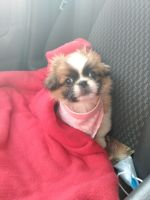 Pekingese Puppies for sale in Old Forge, PA 18518, USA. price: NA