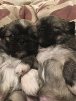 Pekingese Puppies for sale in Carlsbad, NM 88220, USA. price: NA