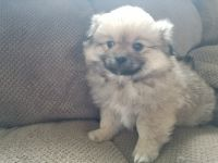 Pekingese Puppies for sale in Montgomery, IN, USA. price: NA