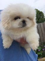 Pekingese Puppies for sale in TX-121, McKinney, TX, USA. price: NA