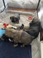 Pekingese Puppies for sale in Princeton, NJ, USA. price: NA