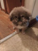 Pekingese Puppies for sale in Afton, VA 22920, USA. price: NA