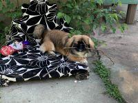 Pekingese Puppies for sale in Oklahoma City, OK 73107, USA. price: NA