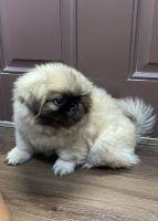Pekingese Puppies for sale in Bradenton, FL 34208, USA. price: NA