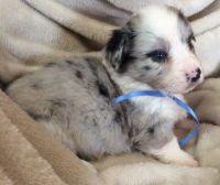 Pembroke Welsh Corgi Puppies for sale in Virginia Beach, VA, USA. price: NA