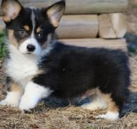Pembroke Welsh Corgi Puppies for sale in Wylie, TX, USA. price: NA