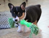 Pembroke Welsh Corgi Puppies for sale in Rowland, PA, USA. price: NA