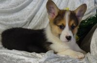 Pembroke Welsh Corgi Puppies for sale in New York, NY, USA. price: NA