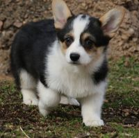 Pembroke Welsh Corgi Puppies for sale in Little Rock, AR, USA. price: NA