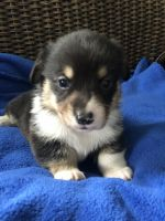 Pembroke Welsh Corgi Puppies for sale in Blair, WI 54616, USA. price: NA