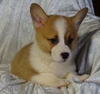 Pembroke Welsh Corgi Puppies for sale in United States. price: NA