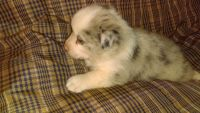 Pembroke Welsh Corgi Puppies for sale in Arthur, IL, USA. price: NA