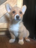 Pembroke Welsh Corgi Puppies for sale in Grove City, OH, USA. price: NA