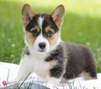 Pembroke Welsh Corgi Puppies for sale in Alabaster, AL, USA. price: NA