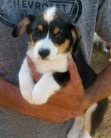 Pembroke Welsh Corgi Puppies for sale in Beverly Hills, CA 90209, USA. price: NA