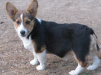 Pembroke Welsh Corgi Puppies for sale in Tuscarawas County, OH, USA. price: NA