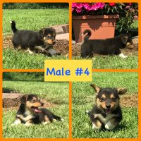 Pembroke Welsh Corgi Puppies for sale in Smiths Grove, KY 42171, USA. price: NA