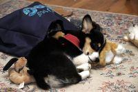 Pembroke Welsh Corgi Puppies for sale in SC-9, Chester, SC, USA. price: NA