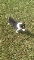 Pembroke Welsh Corgi Puppies for sale in Spring Hill, FL, USA. price: NA