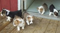 Pembroke Welsh Corgi Puppies for sale in Dayton, OH, USA. price: NA