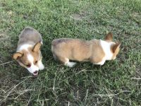 Pembroke Welsh Corgi Puppies for sale in Brookshire, TX 77423, USA. price: NA