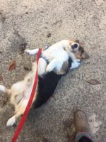 Pembroke Welsh Corgi Puppies for sale in Tupelo, MS, USA. price: NA