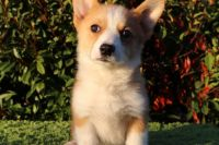 Pembroke Welsh Corgi Puppies for sale in Valley Springs, CA 95252, USA. price: NA