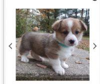 Pembroke Welsh Corgi Puppies for sale in Las Vegas, NV, USA. price: NA