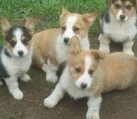 Pembroke Welsh Corgi Puppies for sale in Ashburnham, MA, USA. price: NA
