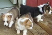Pembroke Welsh Corgi Puppies for sale in Manitowoc, WI 54220, USA. price: NA