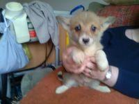 Pembroke Welsh Corgi Puppies for sale in Petaluma, CA 94953, USA. price: NA