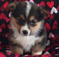 Pembroke Welsh Corgi Puppies for sale in Denver, CO 80219, USA. price: NA