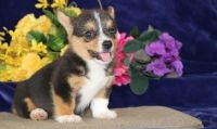 Pembroke Welsh Corgi Puppies for sale in San Diego, CA, USA. price: NA