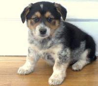 Pembroke Welsh Corgi Puppies for sale in Grand Rapids, MI, USA. price: NA
