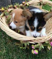 Pembroke Welsh Corgi Puppies for sale in City Vista Dr, Los Angeles, CA 90049, USA. price: NA