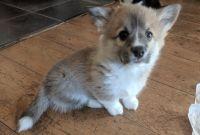 Pembroke Welsh Corgi Puppies for sale in San Leandro, CA, USA. price: NA