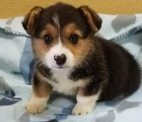 Pembroke Welsh Corgi Puppies for sale in Milwaukee, WI 53233, USA. price: NA