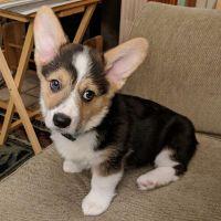 Pembroke Welsh Corgi Puppies for sale in Decatur, IL, USA. price: NA