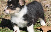 Pembroke Welsh Corgi Puppies for sale in Kansas City, KS, USA. price: NA