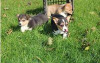 Pembroke Welsh Corgi Puppies for sale in Omaha, NE, USA. price: NA