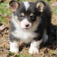 Pembroke Welsh Corgi Puppies for sale in De Pere, WI, USA. price: NA
