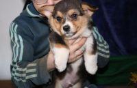 Pembroke Welsh Corgi Puppies for sale in Barre, VT 05641, USA. price: NA