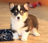 Pembroke Welsh Corgi Puppies for sale in Aztec, NM, USA. price: NA