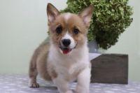 Pembroke Welsh Corgi Puppies for sale in Idaho Falls, ID 83402, USA. price: NA