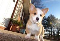 Pembroke Welsh Corgi Puppies for sale in Lafayette, LA, USA. price: NA