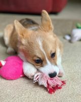 Pembroke Welsh Corgi Puppies for sale in Savannah, GA, USA. price: NA