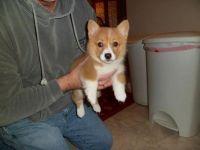 Pembroke Welsh Corgi Puppies for sale in Chicago, IL, USA. price: NA